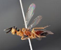 Image of <i>Miotropis unipuncta</i> (Nees 1834)