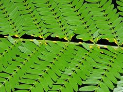 Image of Allen acacia