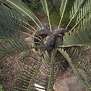 Image of Waterberg Cycad