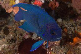 Image of Western blue devil