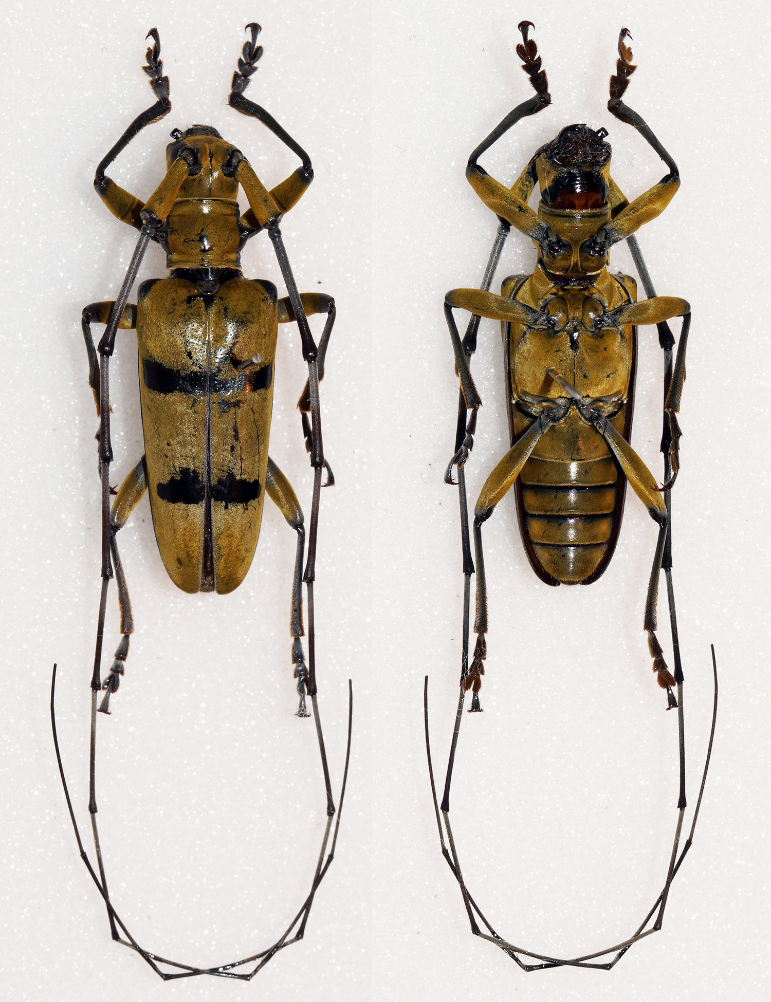 Image of <i>Acalolepta bifasciata</i> (Westwood 1848)