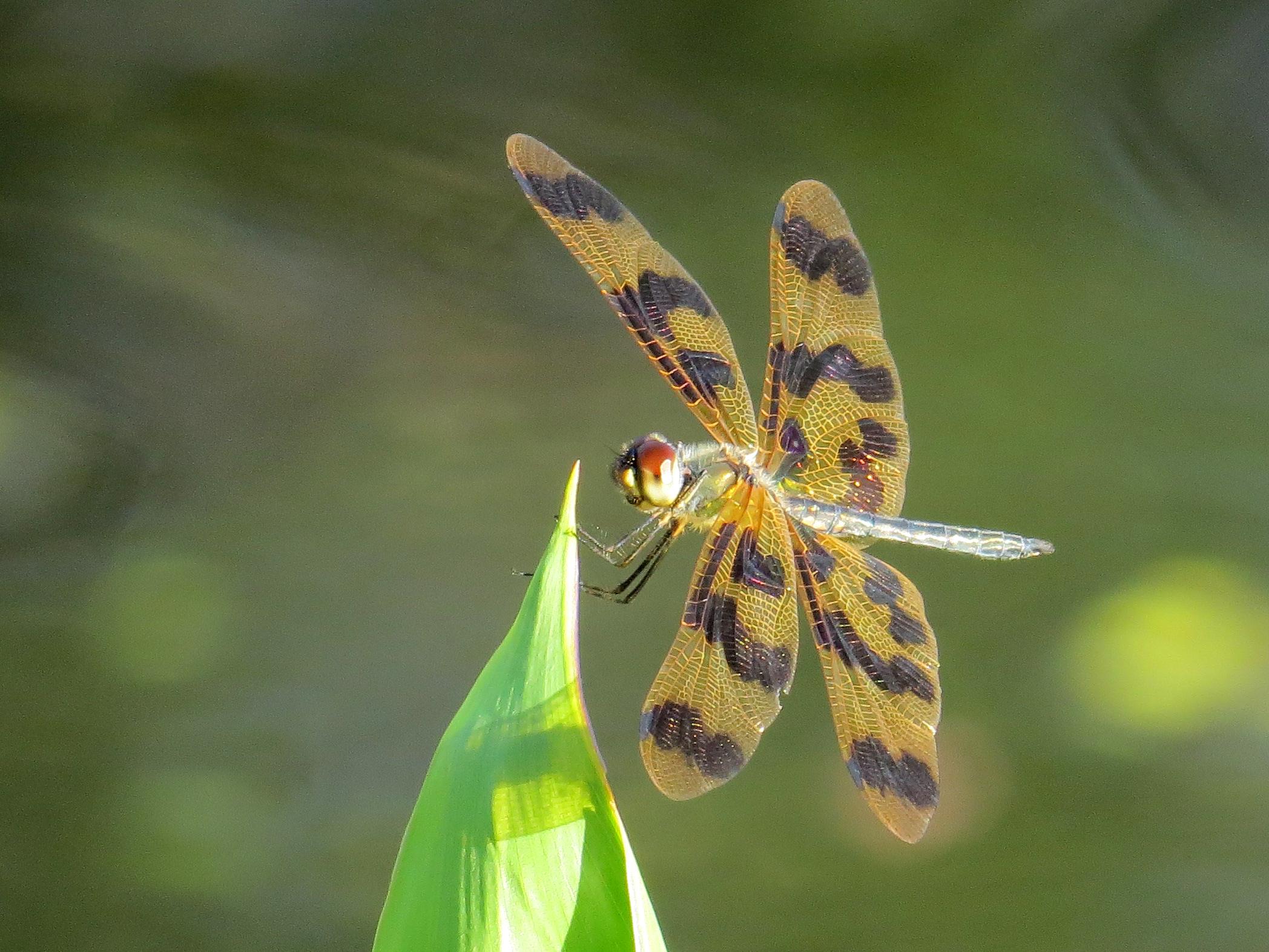 Image of Banded Flutterer