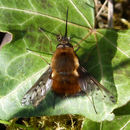 Image of Dotted bee-fly