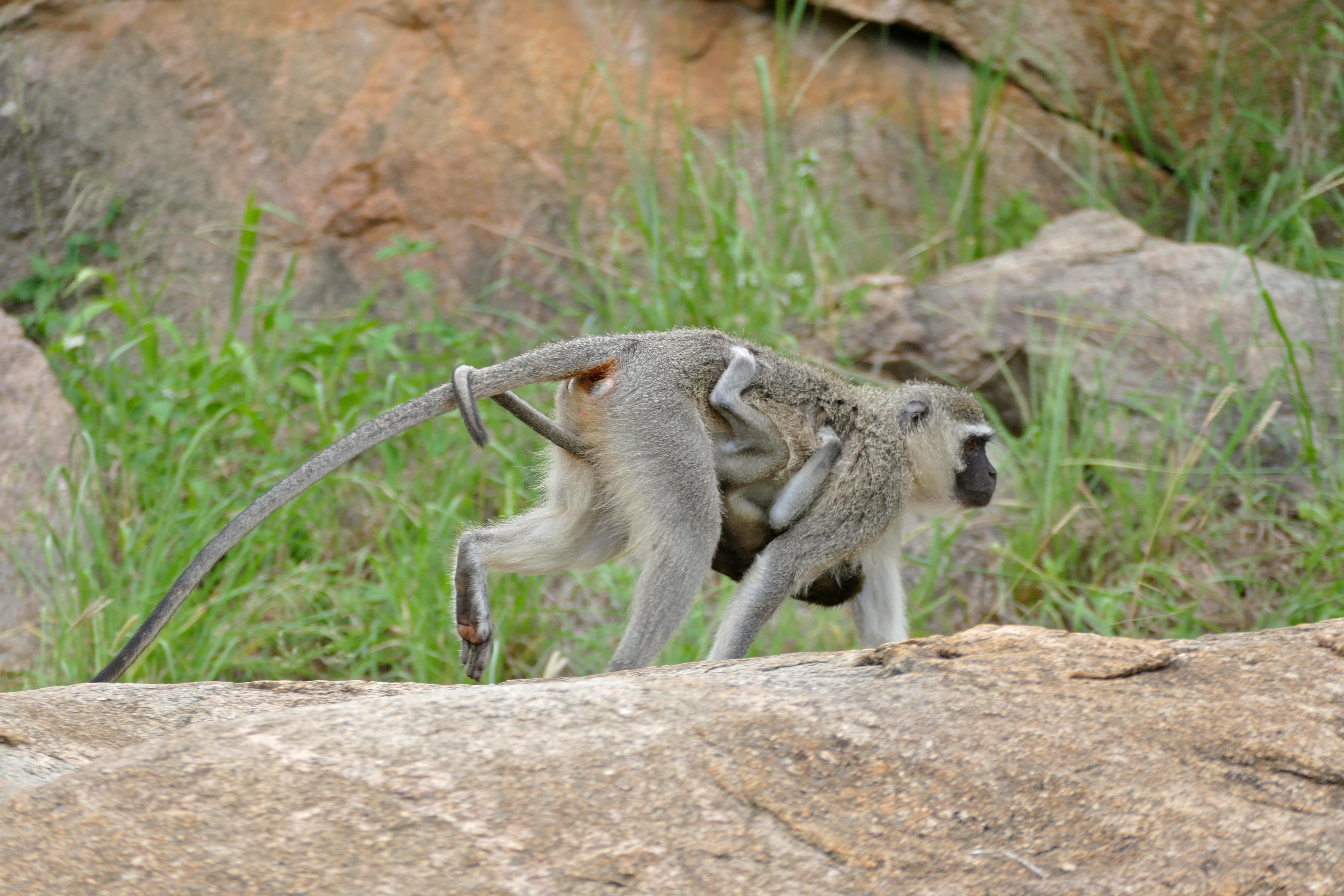 Image of vervet monkey