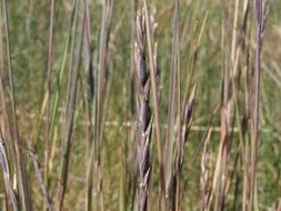 Image of <i>Elymus <i>trachycaulus</i></i> trachycaulus