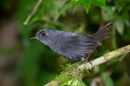 Image of Mouse-colored Tapaculo