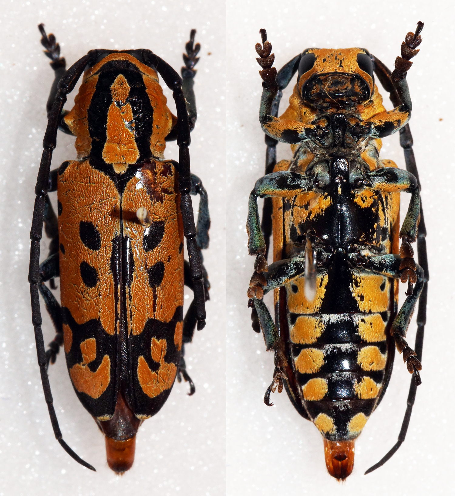 Image of <i>Tragocephala variegata</i> Bertoloni 1845