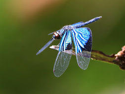 Image of Jewel flutterer