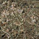Image of Panamint Mountain buckwheat