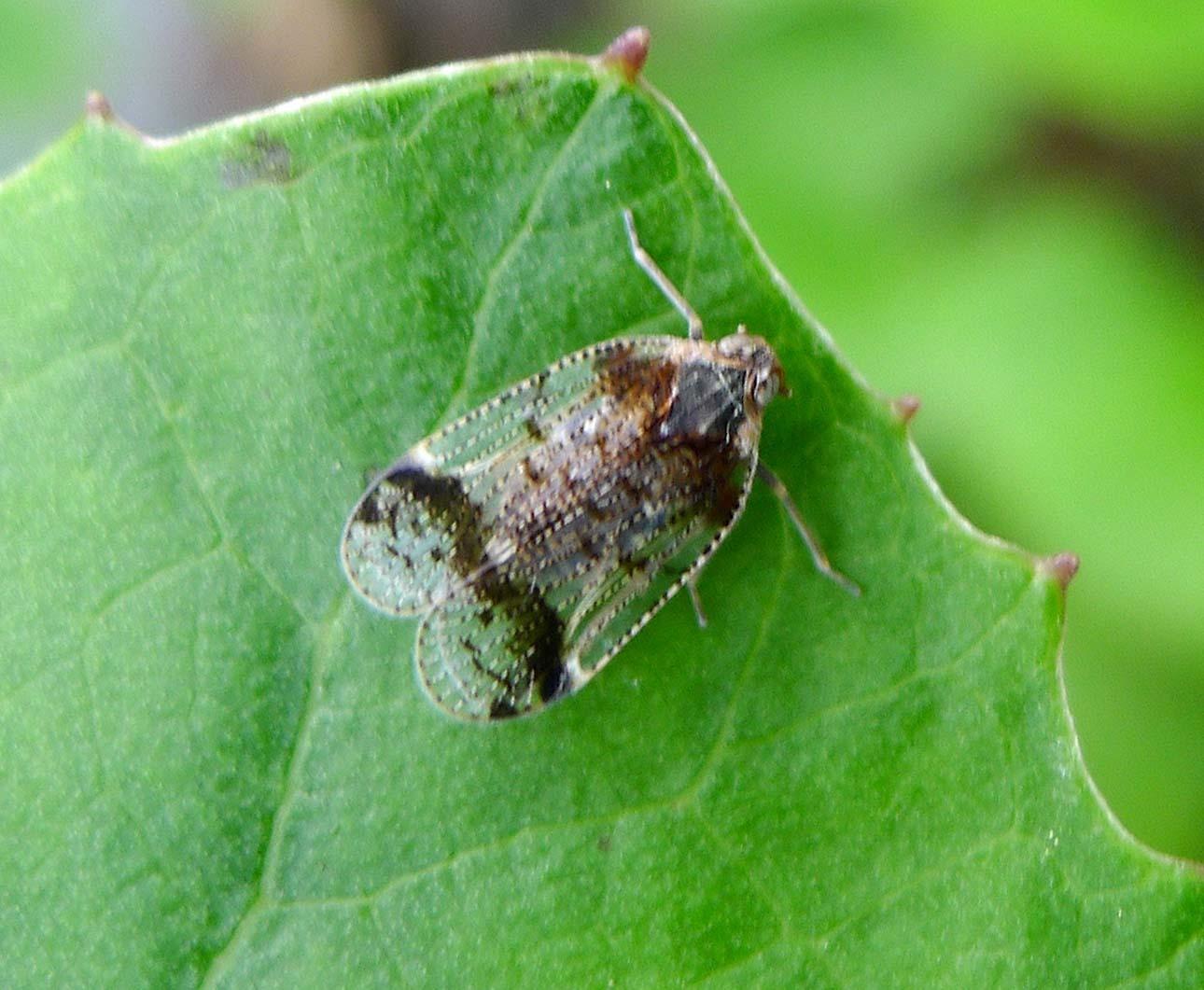 Image of <i>Cixius</i> (<i>Ceratocixius</i>) <i>cunicularius</i> (Linné 1767)