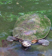 Image of Williams' Side-necked Turtle