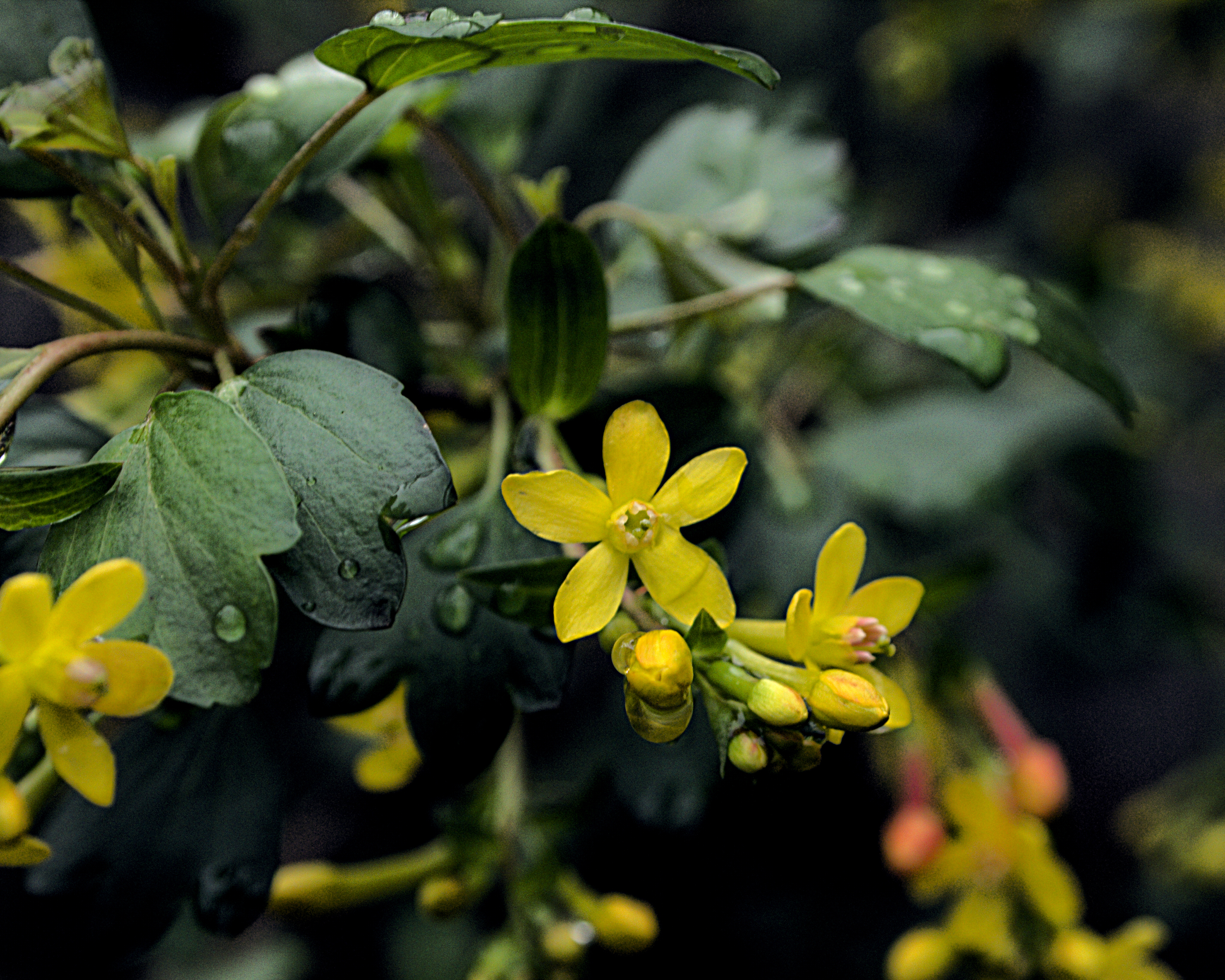 Image of golden currant