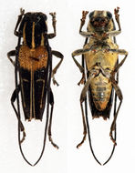 Image of <i>Glenea</i> (<i>Acutoglenea</i>) <i>theodosia palavensis</i> Aurivillius 1903