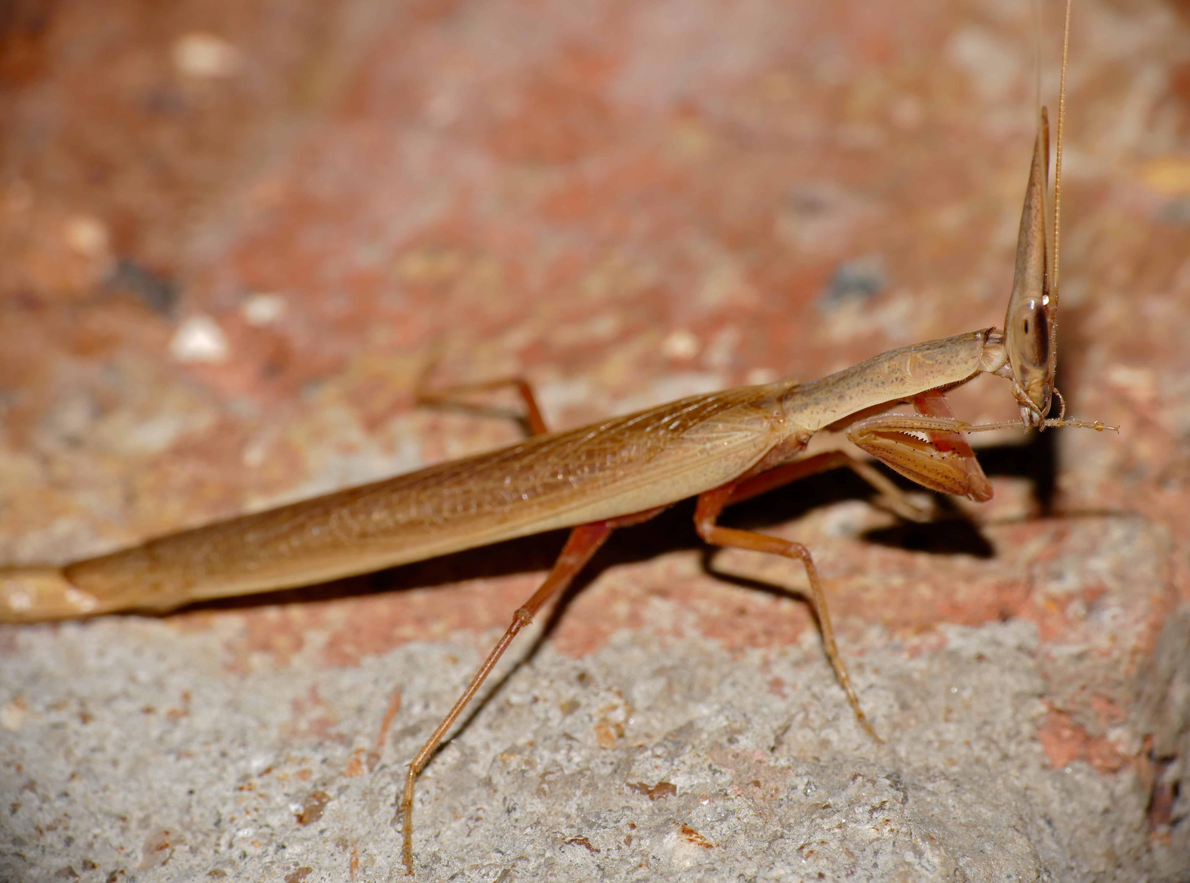 Image of Grass Mantid