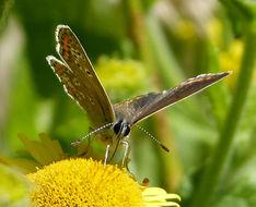 Image of <i>Aricia aegestis</i>