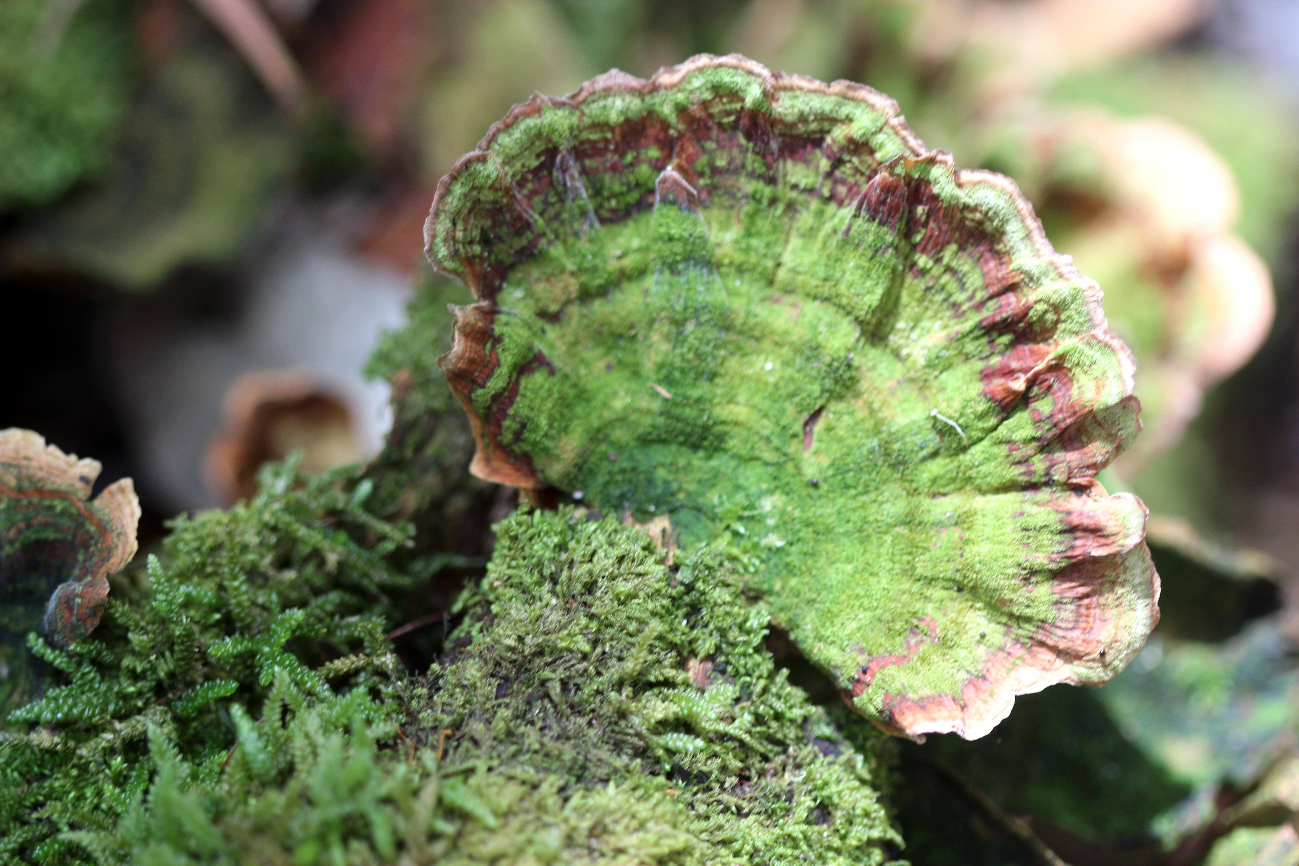 Image of False turkeytail