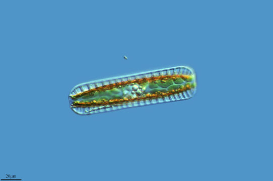 Image of <i>Surirella linearis</i>
