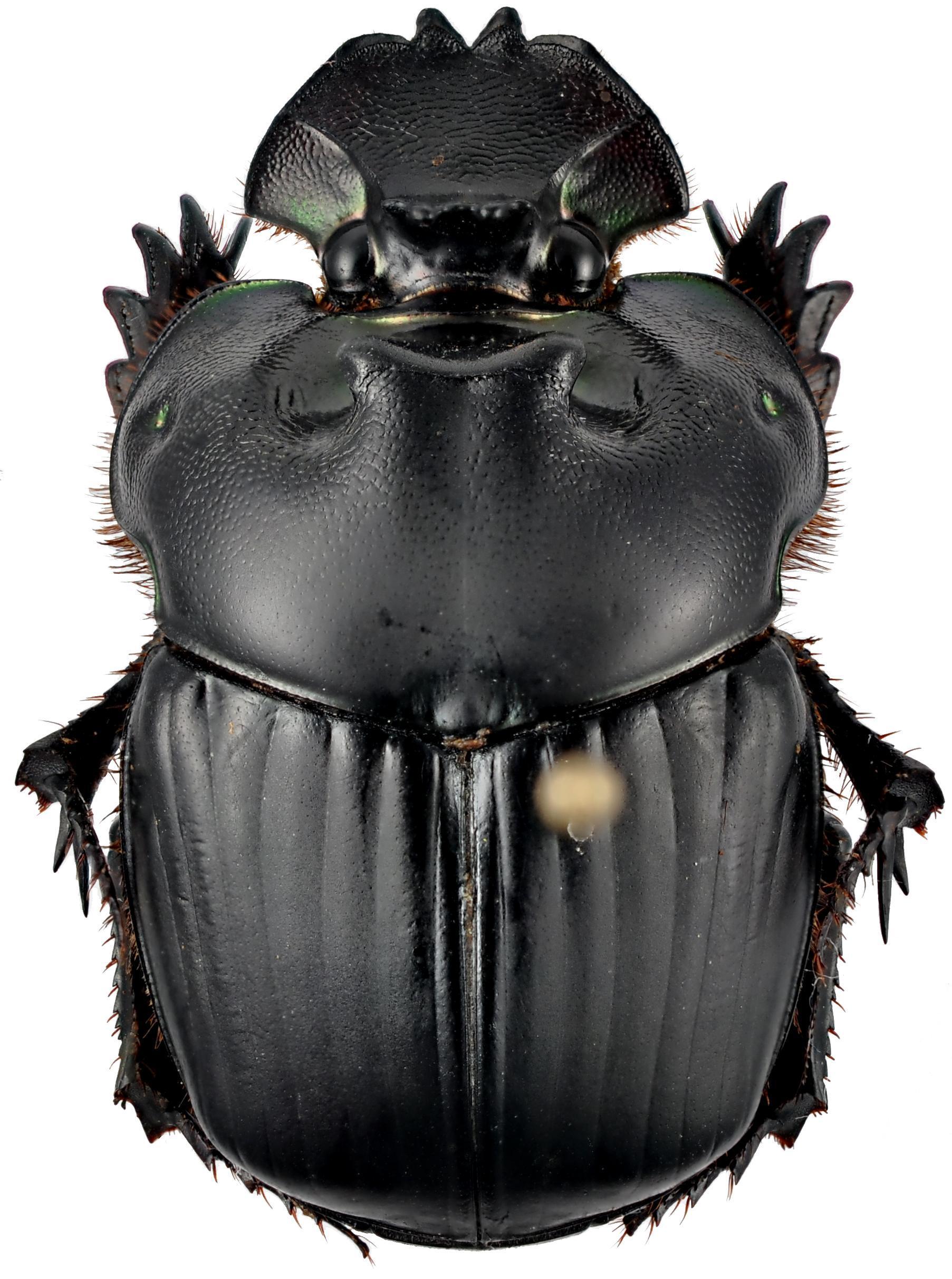 Image of <i>Coprophanaeus terrali</i> Arnaud 2002
