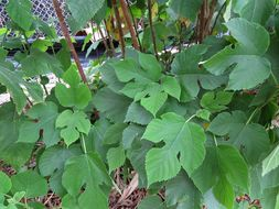 Image of paper mulberry