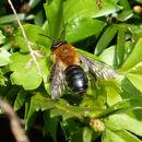 Image of <i>Andrena nitida</i> (Müller 1776)