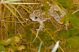 Image of Parsley Frog