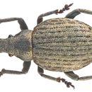 Image of <i>Attactagenus plumbeus</i> (Marsham 1802)