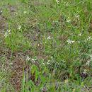 Image of <i>Turraea obtusifolia</i> Hochst.