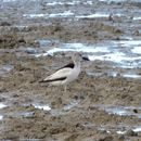 Image of crab-plovers