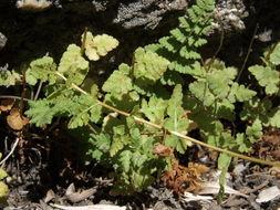 Image of Oregon cliff fern