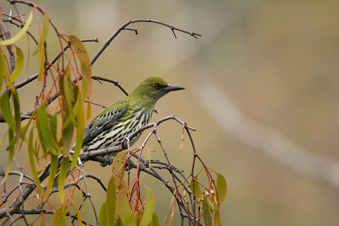 Image of Olive-backed oriole