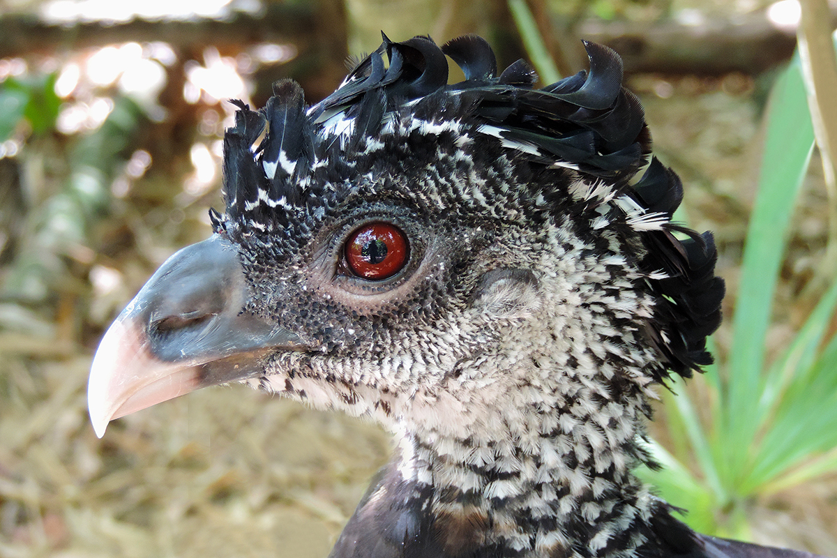 Image of Great Curassow
