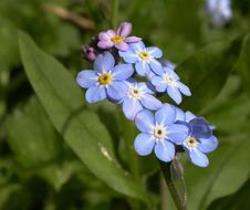 Image of field forget-me-not