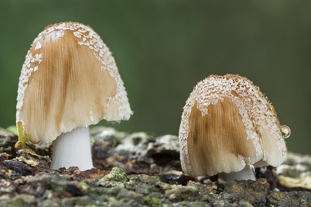Image of <i>Coprinus micaceus</i>