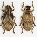 Image of <i>Phryneta semirasa</i> Dohrn 1885