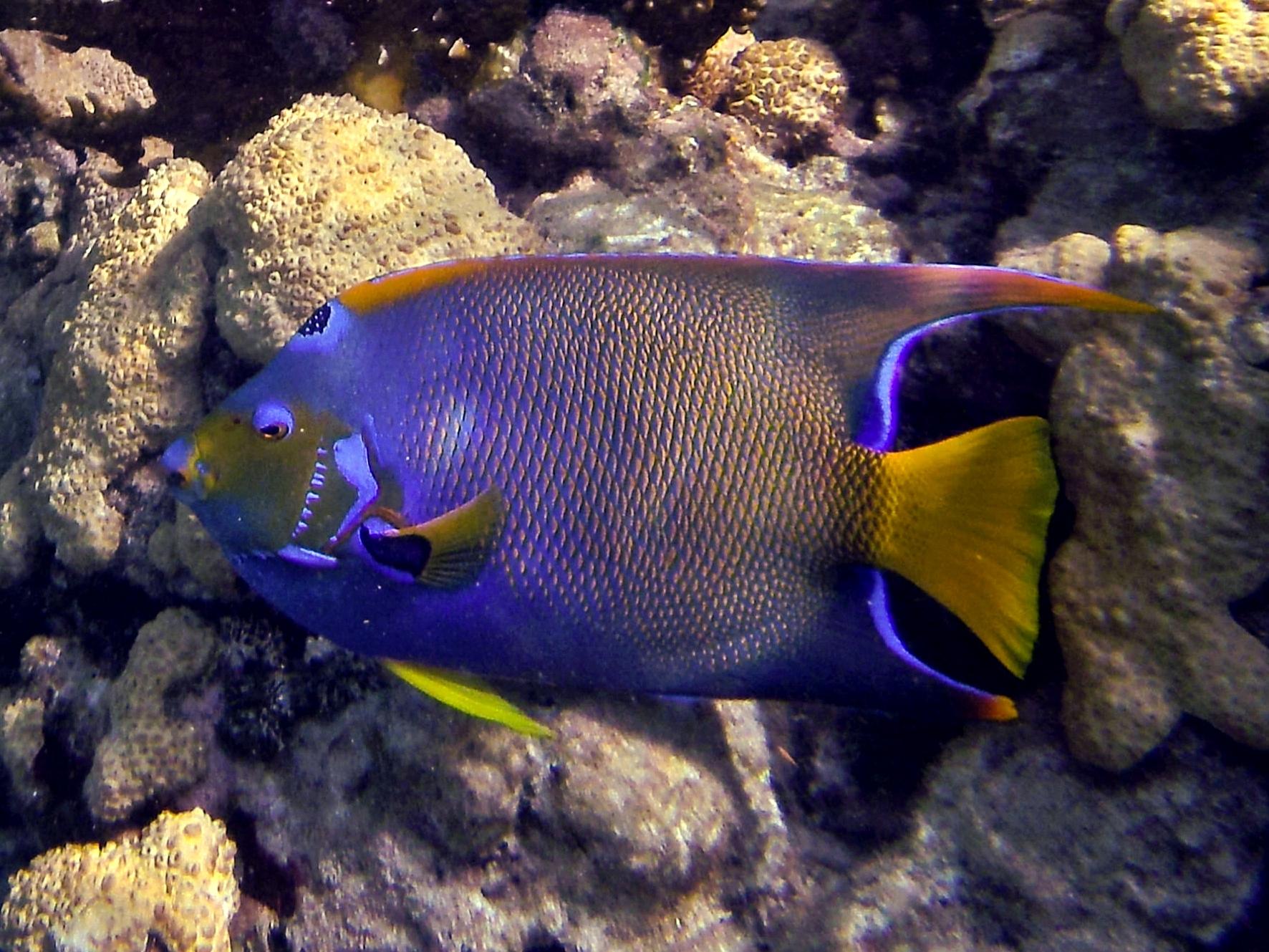 Image of Acarauna major pinnis cornutis