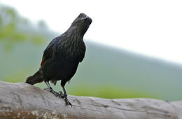 Image of Red-winged Starling