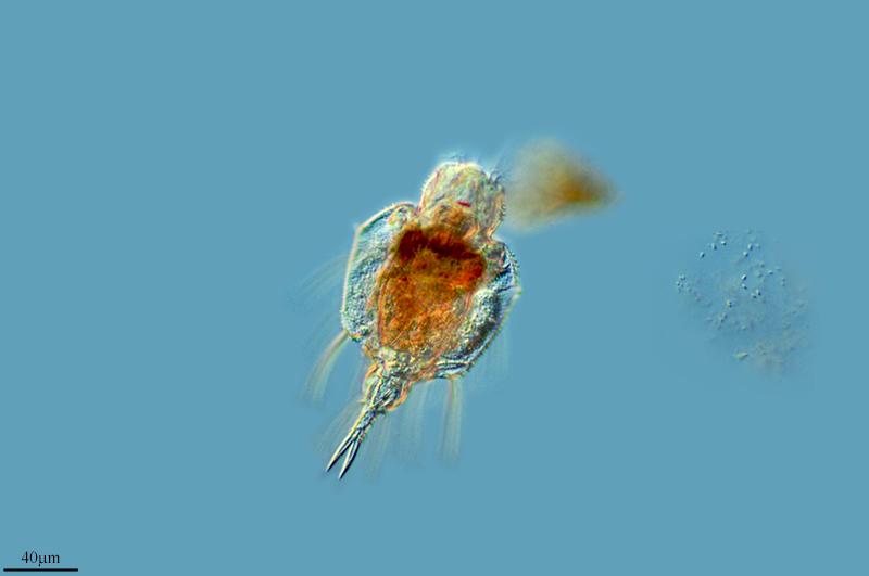 Image of <i>Macrochaetus subquadratustaxonomy</i>