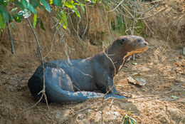 Image of Giant Otter