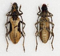 Image of <i>Xoanodera regularis</i> Gahan 1890