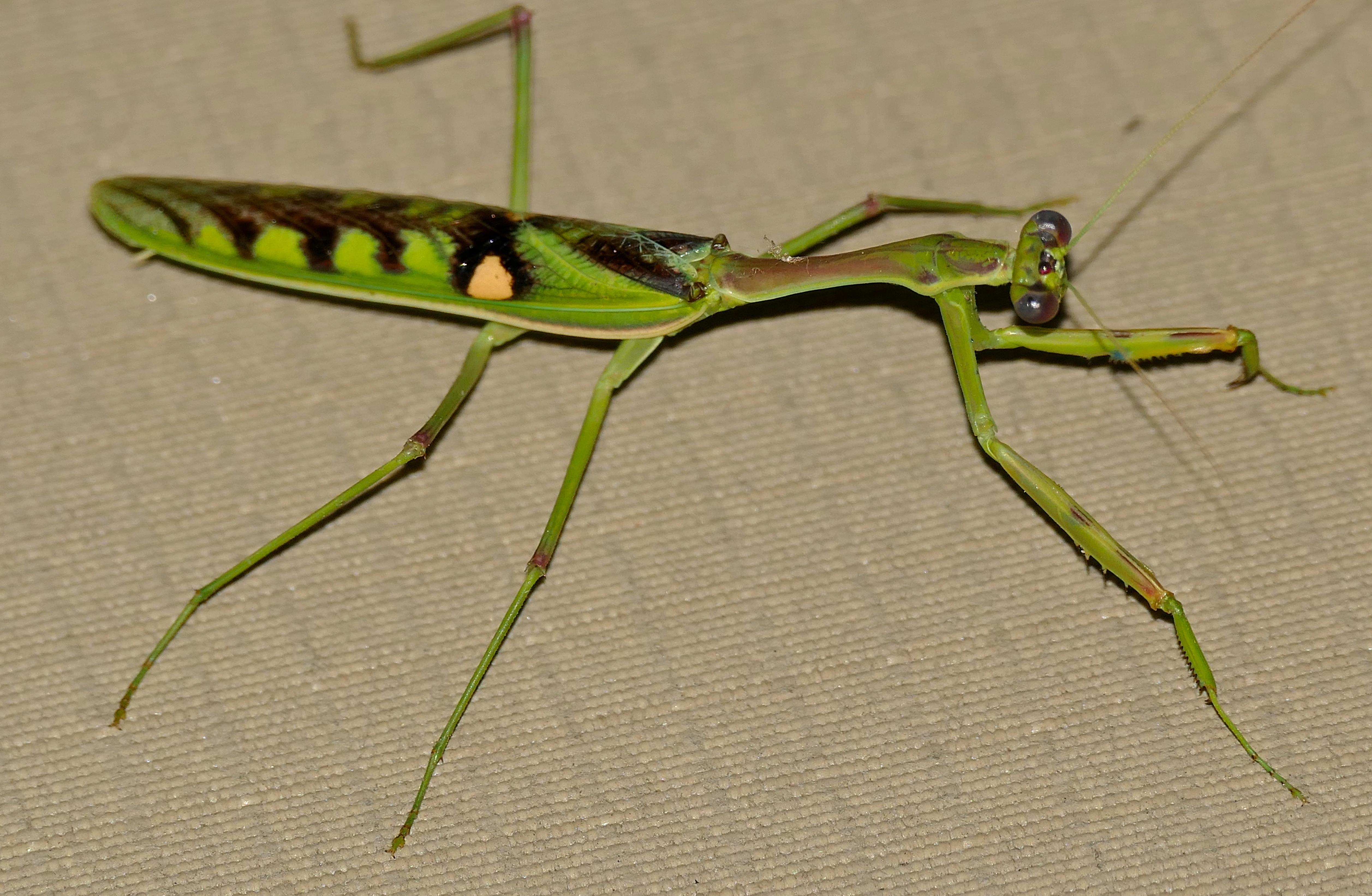 Image of zebra mantis