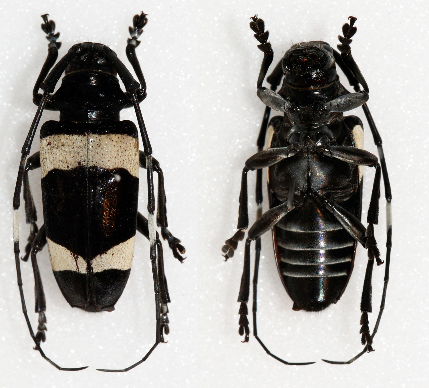 Image of <i>Cereopsius luhuanus</i> Heller 1896