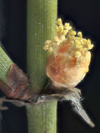 Image of California Ephedra