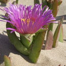 Image of stone plants