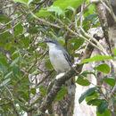 Image of Mauritius Cuckooshrike