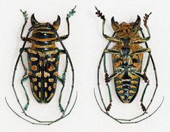 Image of <i>Sternotomis bohemani</i> Chevrolat 1844