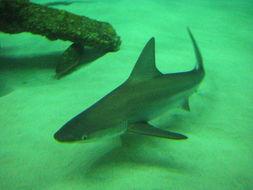 Image of Sandbar Shark