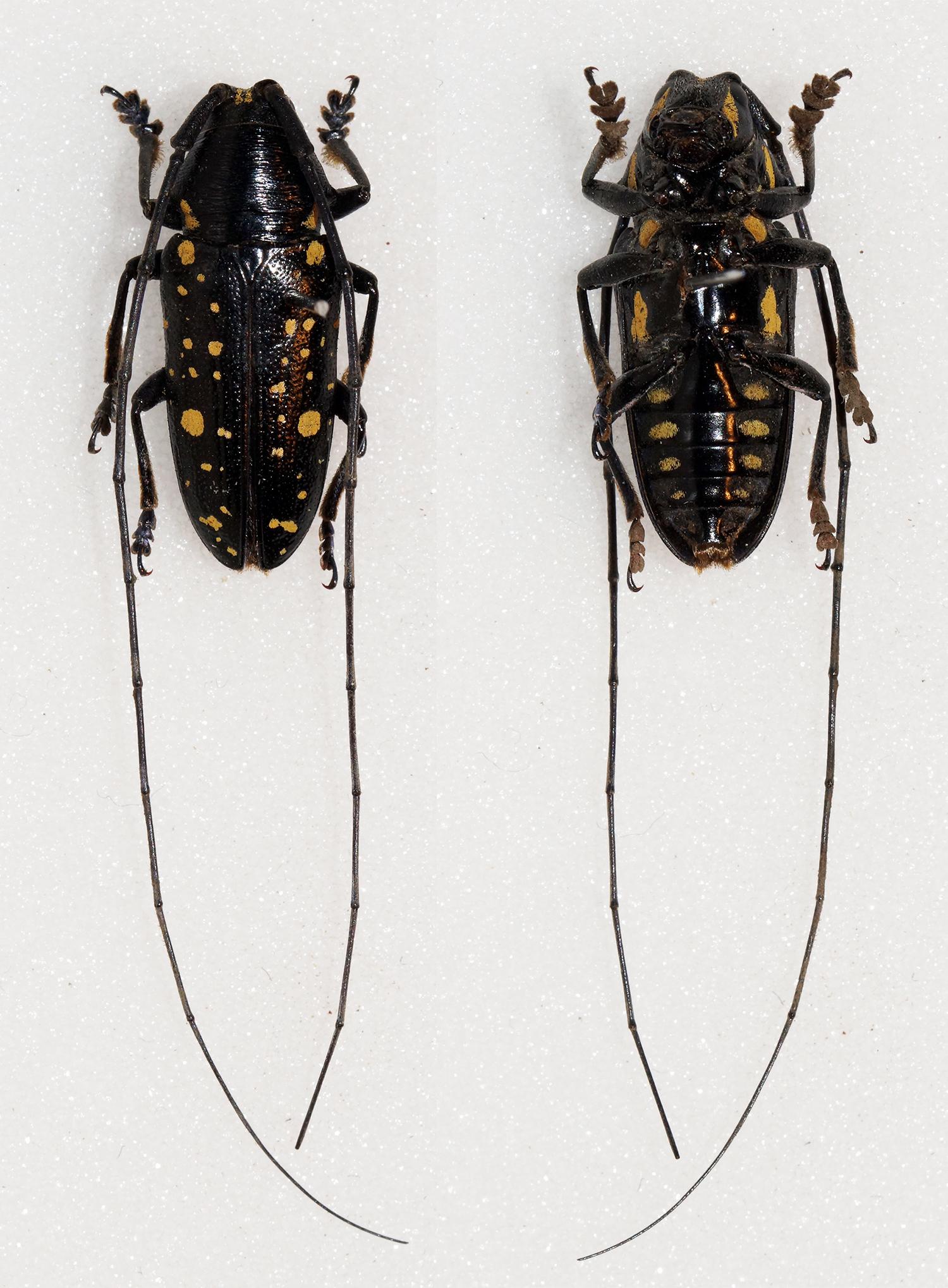 Image of <i>Pinacosterna mechowi</i> Quedenfeldt 1881