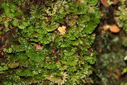 Image of <i>Hymenophyton flabellatum</i> (Labill.) Dumort. ex Trevis.