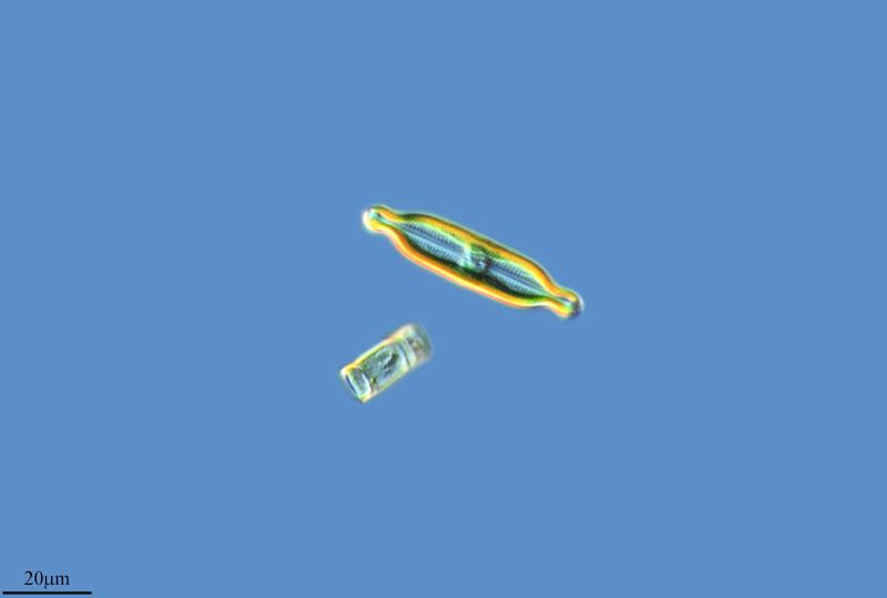 Image of <i>Neidium productum</i>