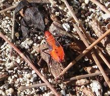 Image of <i>Dysdercus koenigi</i>
